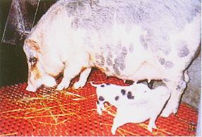 蘭嶼豬李宋系之來源 - 注重藍瑞斯豬白色基因的純化;成為李宋系。(畜產種原庫及基因交流p14)