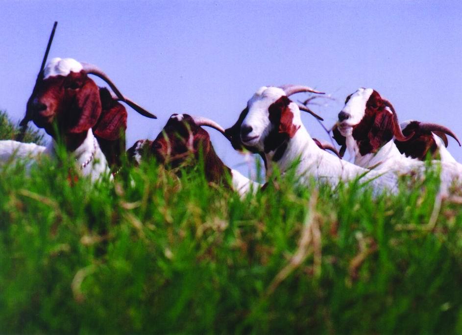 波爾山羊(Boser)(2) - 畜產生物品種資源p16