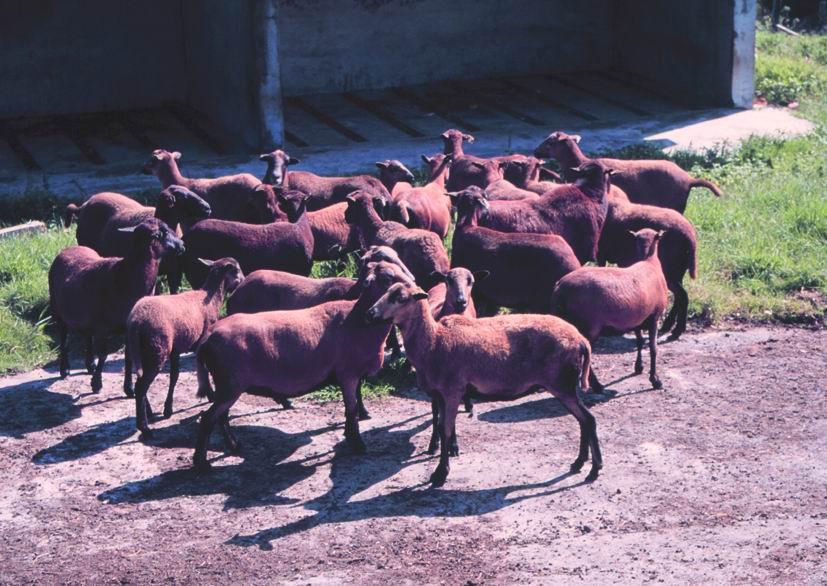 巴貝多綿羊(1) - 畜產生物品種資源p18