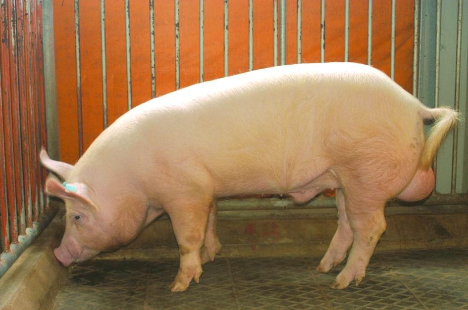 約克夏(Yorkshire)(1)- 畜產生物品種資源p20