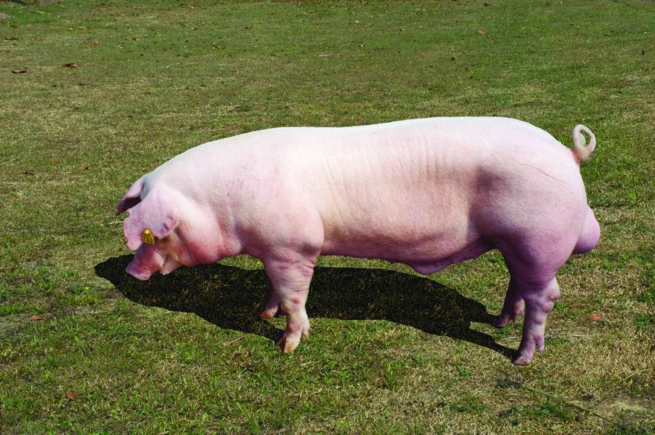 藍瑞斯(Landrace)(1) - 畜產生物品種資源p21