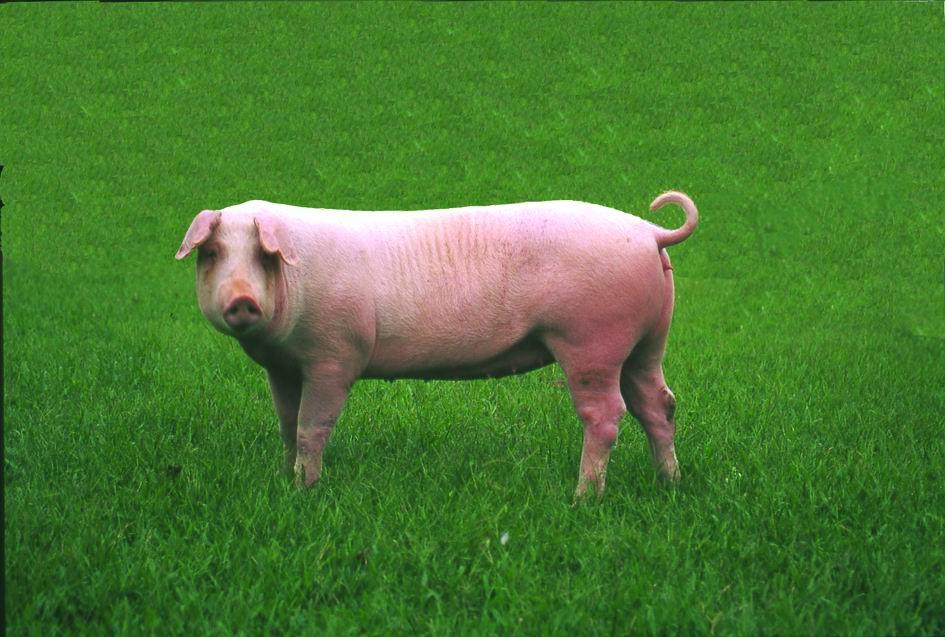 藍瑞斯(Landrace)(2) - 畜產生物品種資源p21