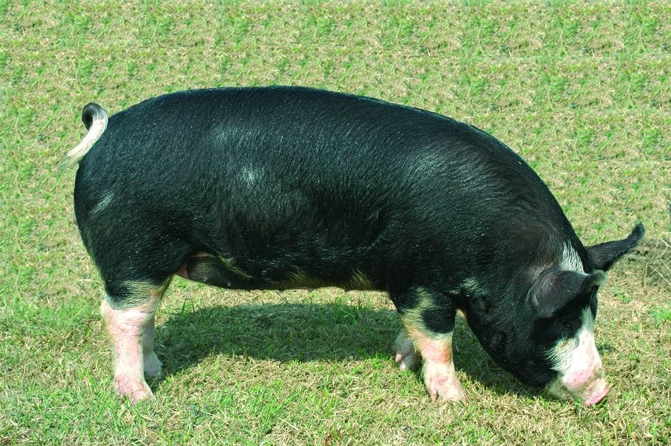 盤克夏(Berkshire)(2) - 畜產生物品種資源p22