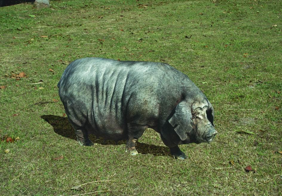 桃園豬(Taoyuan)(1) - 畜產生物品種資源p24