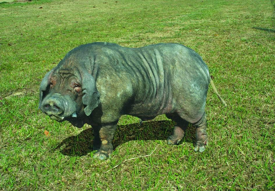 桃園豬(Taoyuan)(2) - 畜產生物品種資源p24