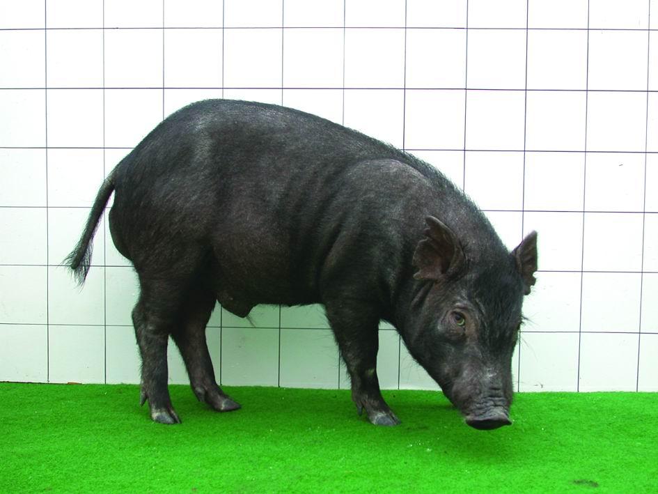 蘭嶼豬(Lanyu) - 畜產生物品種資源p26