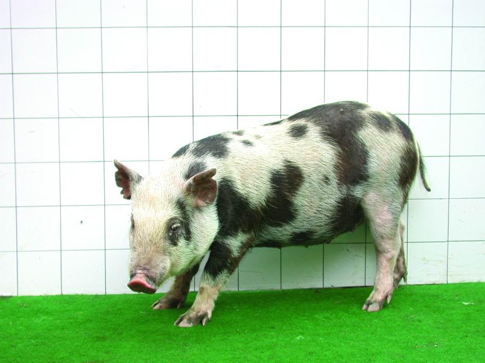 畜試花斑豬(LTI Spotty Lanyu pig) - 畜產生物品種資源p27