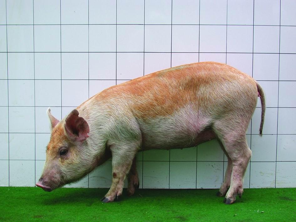 畜試迷彩豬(LRI Mitsai pig) - 畜產生物品種資源p28