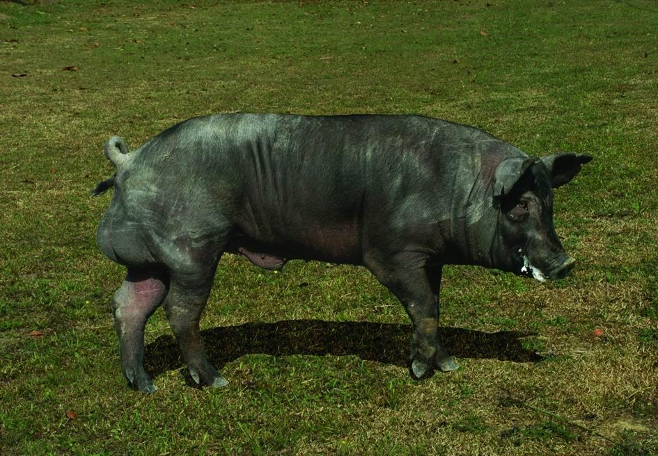 畜試黑豬一號(TLRI Black No.1) (1) - 畜產生物品種資源p28