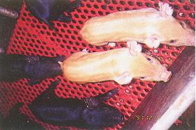 蘭嶼豬與杜洛克豬雜交 - 雜交二代和祖母輩母豬群飼 (a) (畜產種原庫及基因交流p18)