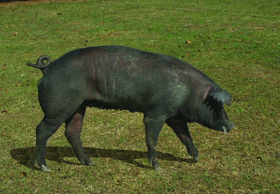 畜試黑豬一號(TLRI Black No.1) (2) - 畜產生物品種資源p28