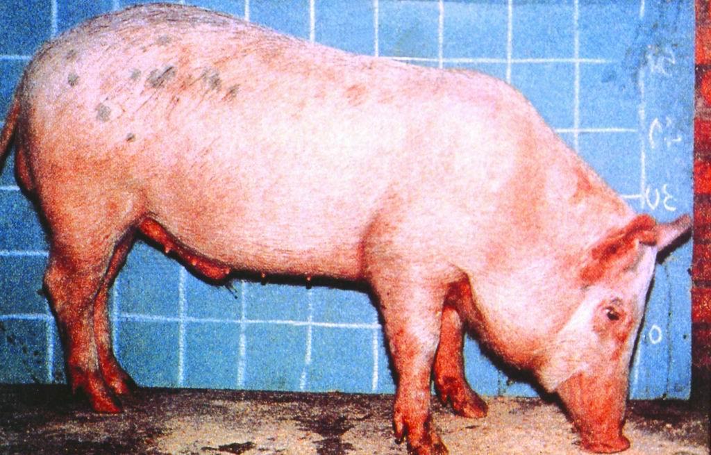 李宋品系豬(Lee-Sung Strain Pig) - 畜產生物品種資源p30