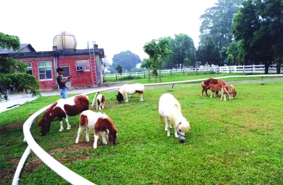 法拉貝拉迷你馬(Falabella) (2) - 畜產生物品種資源p33