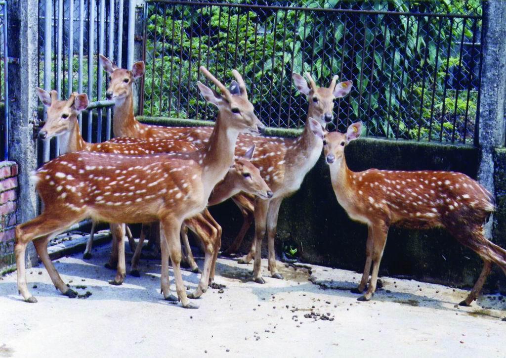 台灣梅花鹿(Formosan Sika Deer) (2) - 畜產生物品種資源p34