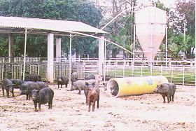 蘭嶼豬與杜洛克豬雜交 - 雜交二代和祖母輩母豬群飼 (b) (畜產種原庫及基因交流p18)