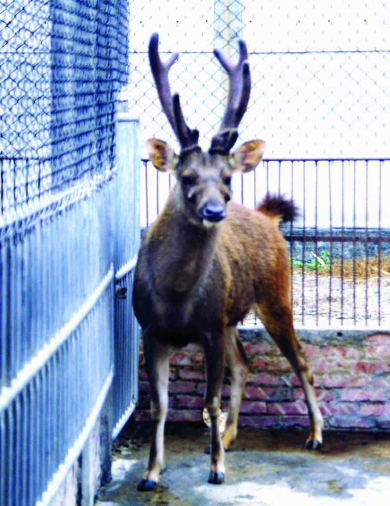 台灣水鹿(Formosan Sambar Deer) (1) - 畜產生物品種資源p36