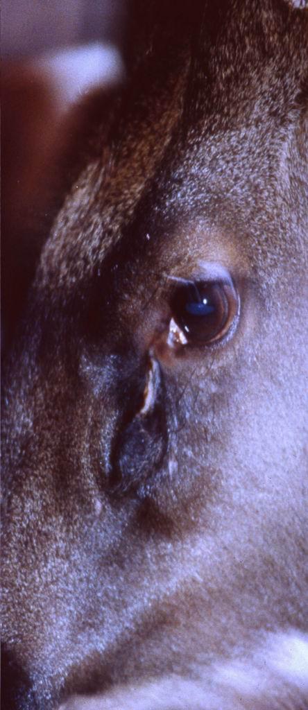 台灣水鹿(Formosan Sambar Deer) (2) - 畜產生物品種資源p36
