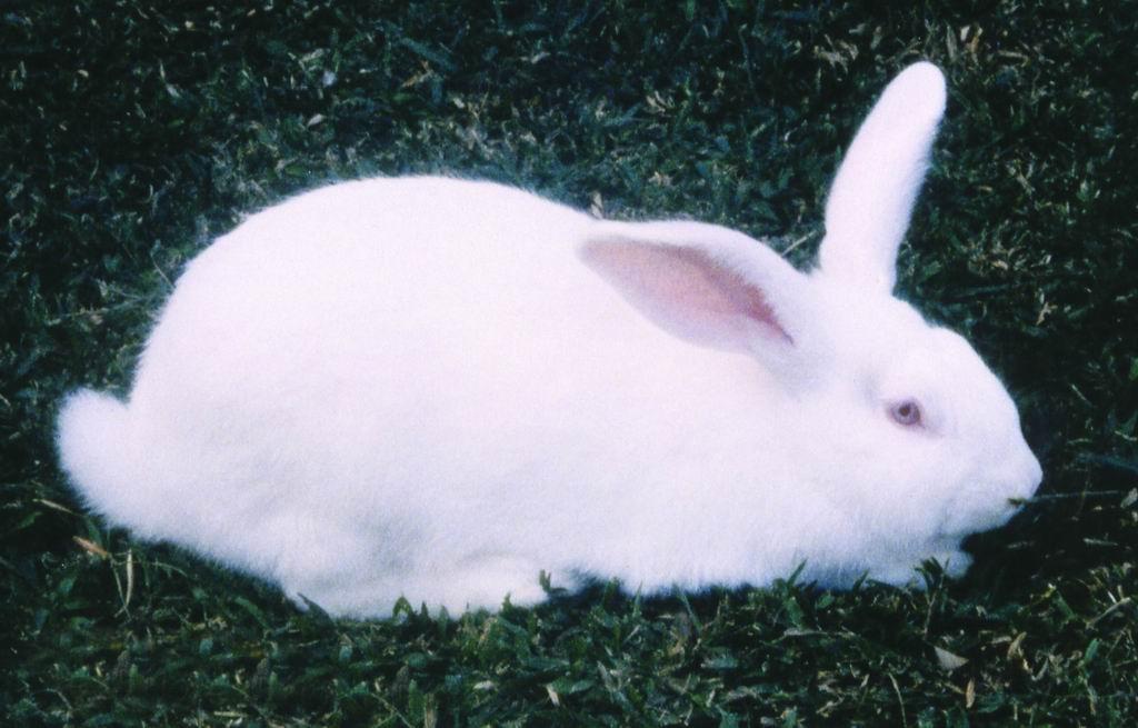 紐西蘭白兔(New Zealand White Rabbit)  - 畜產生物品種資源p36