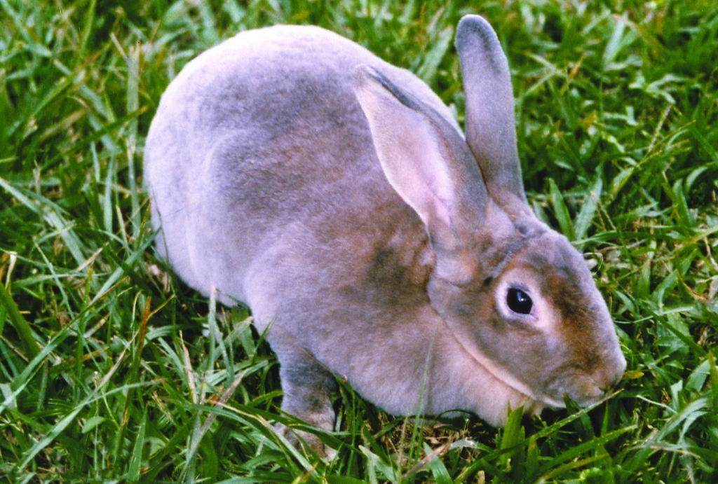 雷克斯兔(Rex Rabbit) (1) - 畜產生物品種資源p39