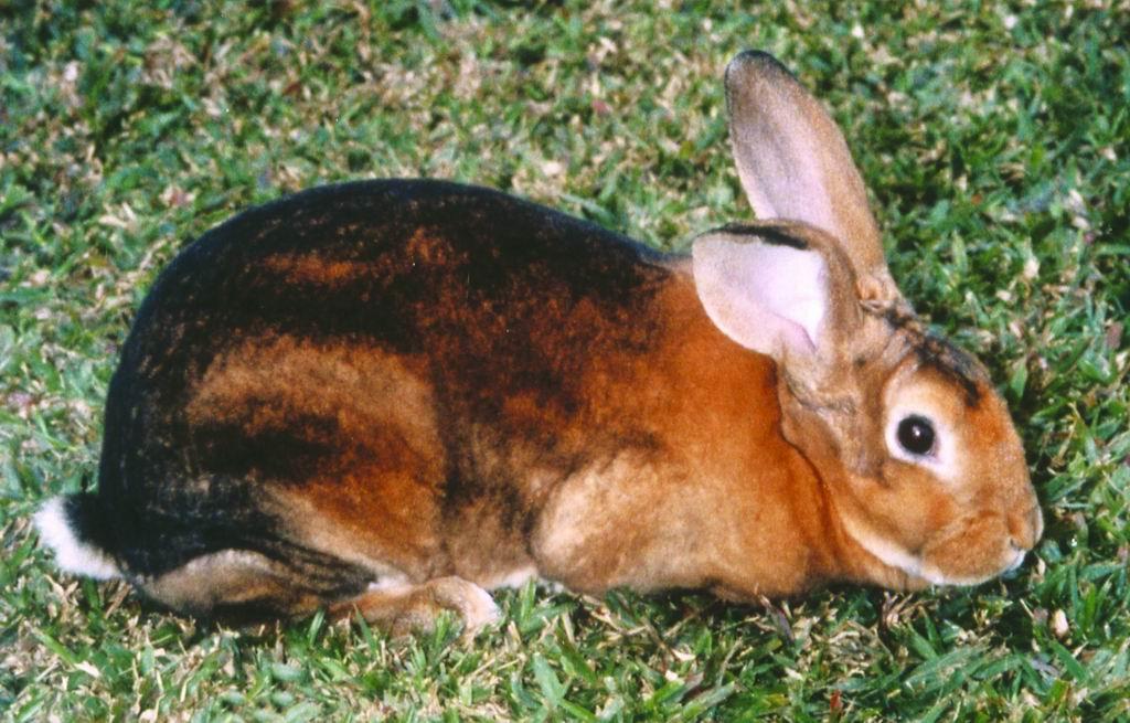 雷克斯兔(Rex Rabbit) (4) - 畜產生物品種資源p39