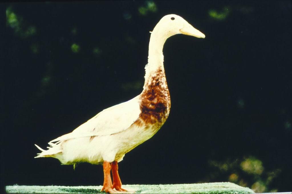 褐色菜鴨(Brown Tsaiya Duck) - 畜產生物品種資源p50