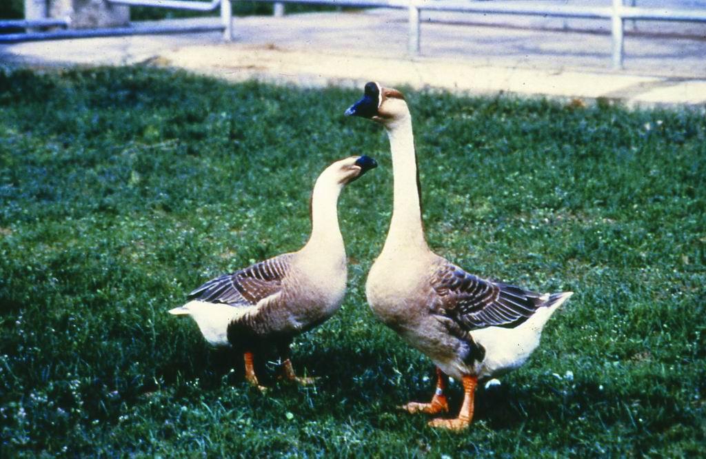 中國鵝(Chinese Goose) (1) - 畜產生物品種資源p55