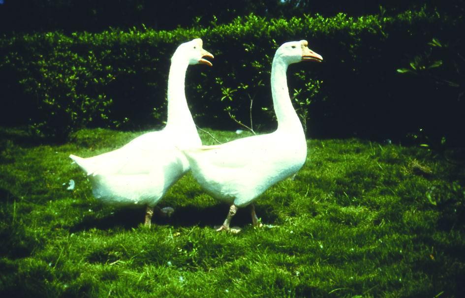 保種動物-白色華鵝 White Chinese Goose