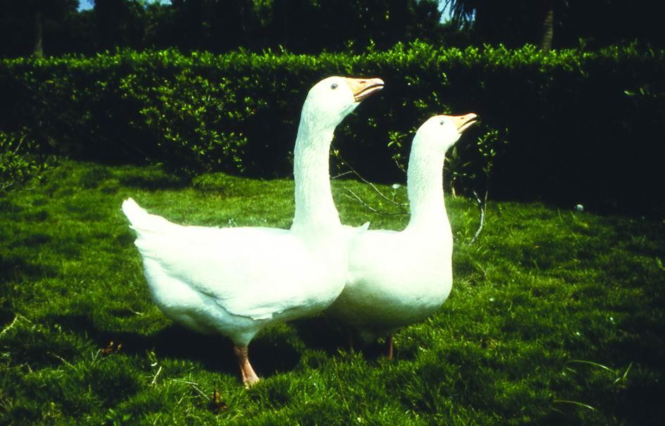 白羅曼鵝(White Roman Goose) - 畜產生物品種資源p56