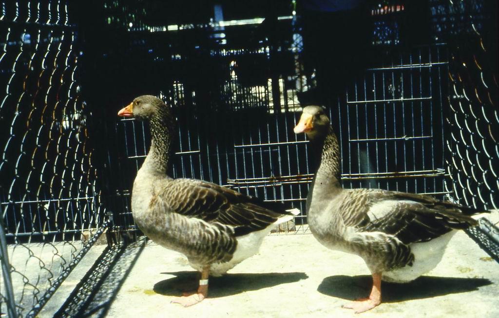 土魯斯鵝(Toulouse Goose) - 畜產生物品種資源p58