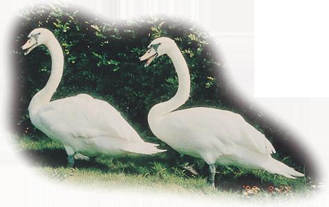 啞天鵝 Mute Swan