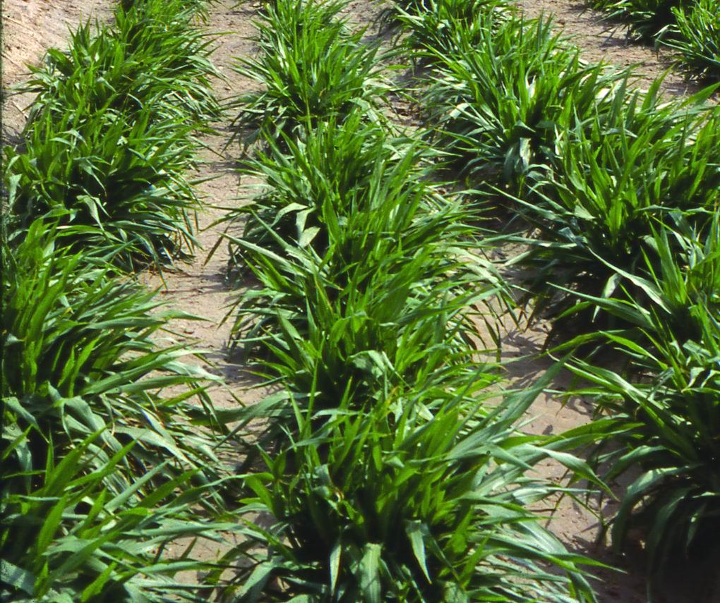 狼尾草台畜草一號 (Napiergrass Taishigrass No.1) - 畜產生物品種資源p66