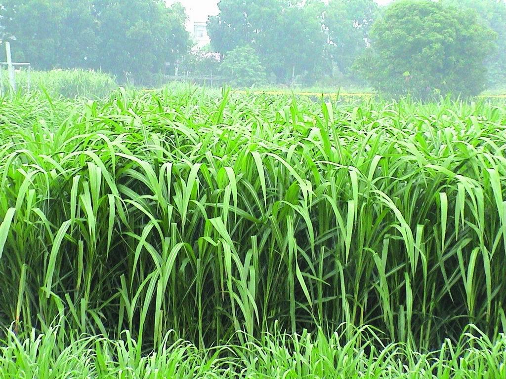 狼尾草台畜草二號 (Napiergrass Taishigrass No.2) (1) - 畜產生物品種資源p67