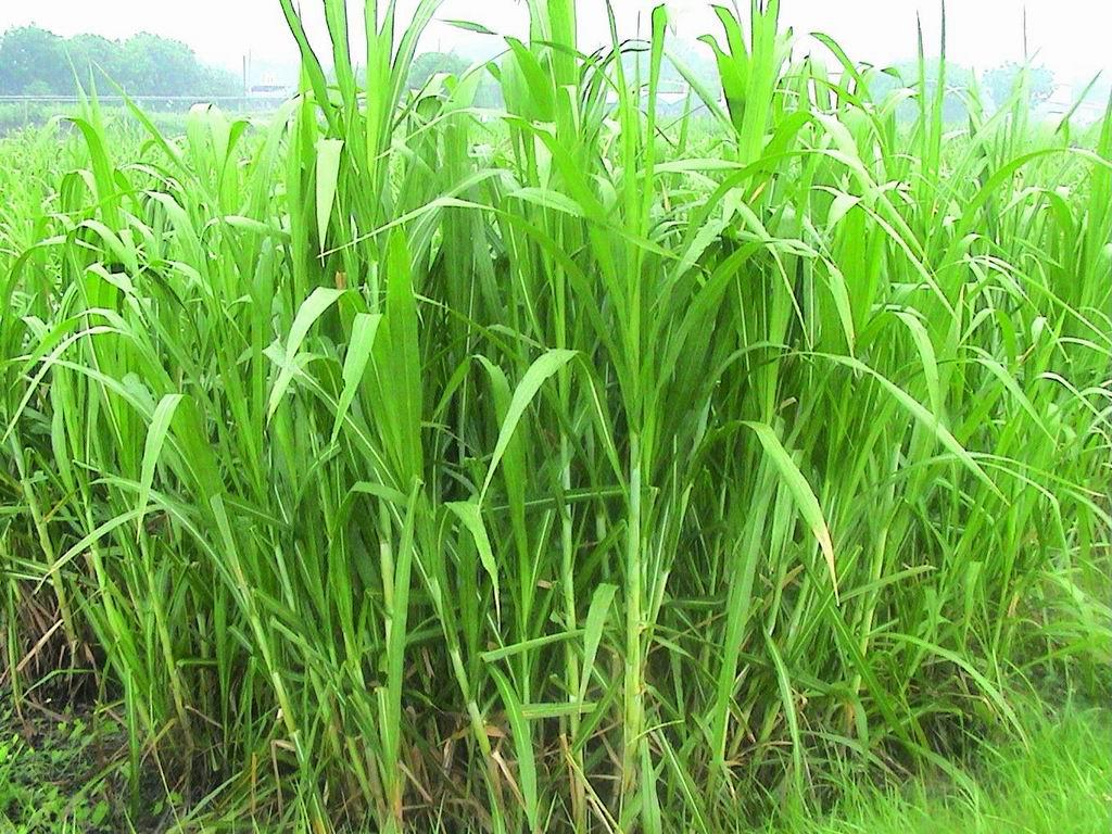 狼尾草台畜草二號 (Napiergrass Taishigrass No.2) (2) - 畜產生物品種資源p67