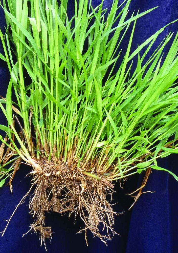 尼羅草台畜草一號 (1) (Nillgrass Taishigrass No.1) - 畜產生物品種資源p68