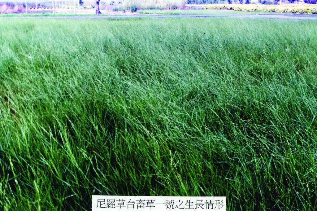尼羅草台畜草一號 (3) (Nillgrass Taishigrass No.1) - 畜產生物品種資源p68