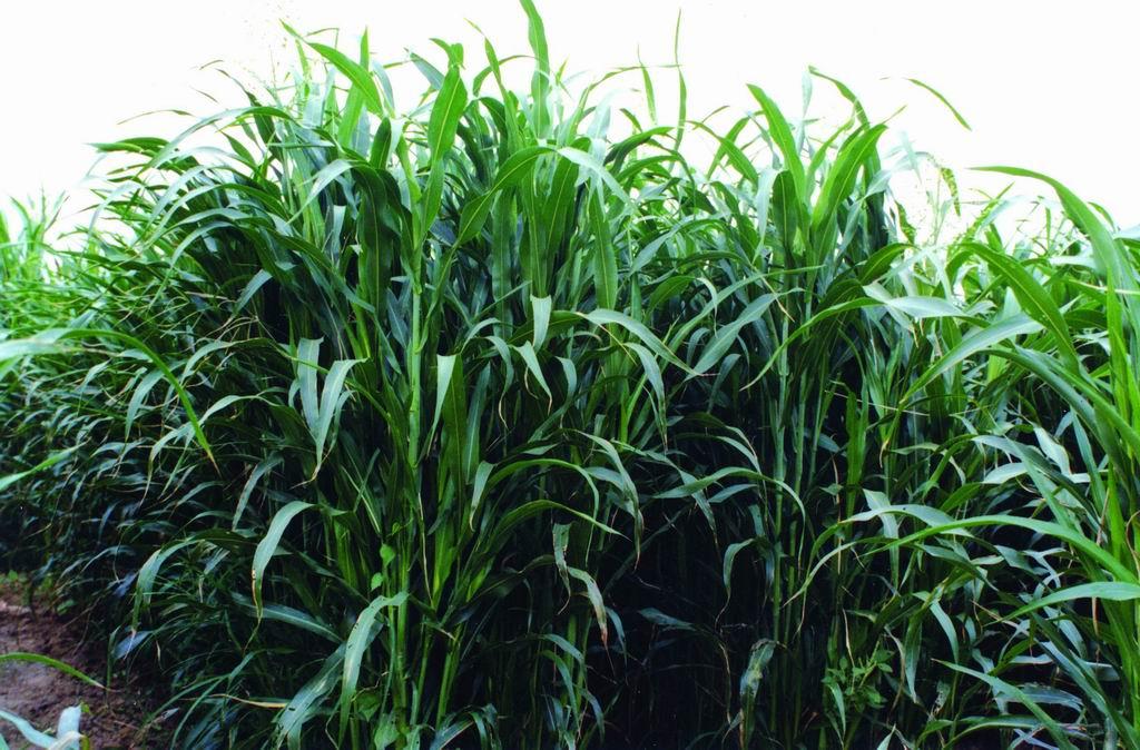 蘇丹草台畜草一號 (1) (Sudangrass Taishigrass No.1) - 畜產生物品種資源p70