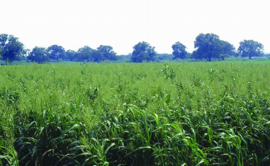 蘇丹草台畜草一號 (2) (Sudangrass Taishigrass No.1) - 畜產生物品種資源p70