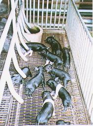 蘭嶼豬與其他品種之雜交後代- 漢布夏公豬配蘭嶼母豬所生(1) (畜產種原庫及基因交流p22)