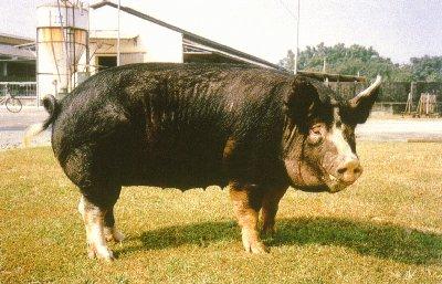盤克夏豬種