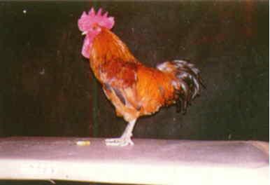 品系:7翼號 7947068 - 台灣保種畜禽圖譜 p20