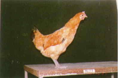 品系:9翼號 9949077 - 台灣保種畜禽圖譜 p21