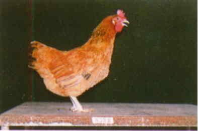 品系:11翼號 T948088 - 台灣保種畜禽圖譜 p22
