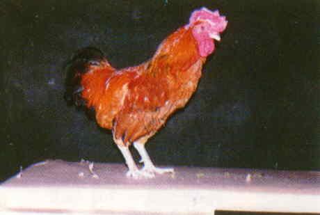 品系:11翼號 T948711 - 台灣保種畜禽圖譜 p22