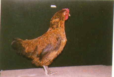 品系:12翼號 C946022 - 台灣保種畜禽圖譜 p23