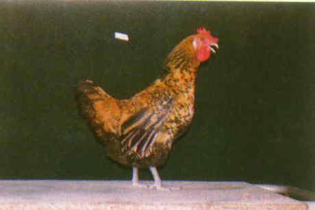 品系:12翼號 C946078 - 台灣保種畜禽圖譜 p23