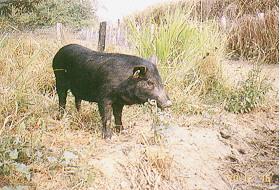 家畜生理系試驗用蘭嶼豬群 (5)(畜產種原庫及基因交流p24)