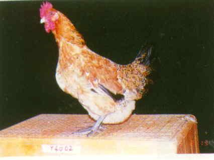 品系:B 翼號 Y4002 - 台灣保種畜禽圖譜 p25