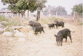家畜生理系試驗用蘭嶼豬群 (6)(畜產種原庫及基因交流p24)
