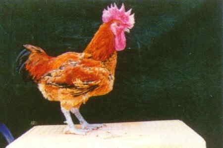 品系:H 翼號 R3205 - 台灣保種畜禽圖譜 p28
