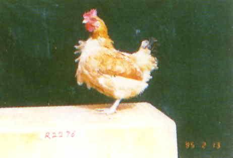 品系:L2 翼號 R2276 - 台灣保種畜禽圖譜 p30
